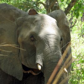 Just the Facts: African Elephants