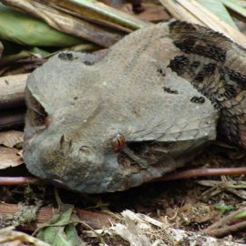Wildlife of Cameroon: Reptiles