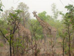 Wildlife of Cameroon: Mammals