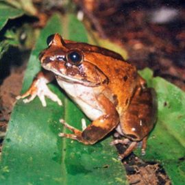 Wildlife of Cameroon: Amphibians