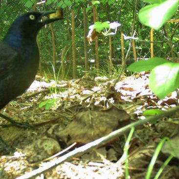 NC Zoo Camera Trapping: Crow<br/> <i>Photo courtesy Nell Allen, NC Zoo</i>