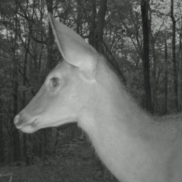 NC Zoo Camera Trapping: Single Deer<br/> <i>Photo courtesy Nell Allen, NC Zoo</i>