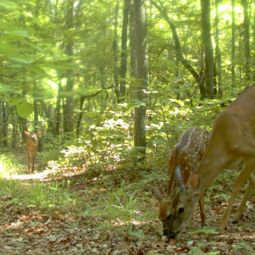 NC Zoo Camera Trapping: Deer Group<br/> <i>Photo courtesy Nell Allen, NC Zoo</i>