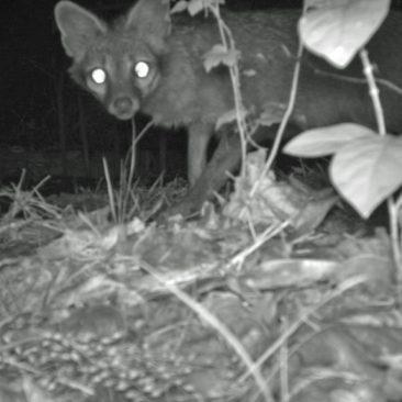 NC Zoo Camera Trapping: Fox<br/> <i>Photo courtesy Nell Allen, NC Zoo</i>