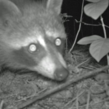 NC Zoo Camera Trapping: Raccoon<br/> <i>Photo courtesy Nell Allen, NC Zoo</i>