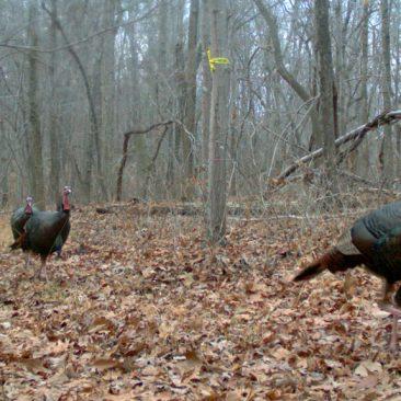 NC Zoo Camera Trapping: Wild Turkeys<br/> <i>Photo courtesy Nell Allen, NC Zoo</i>