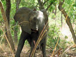 Wildlife of Cameroon: Collared Elephants