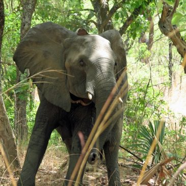 Wildlife of Cameroon: Collared Elephants
