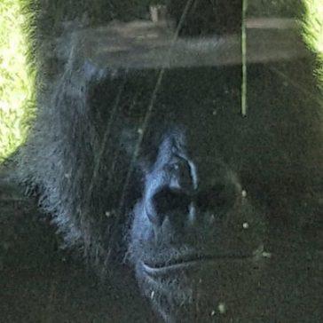 Gorilla Behavior Research