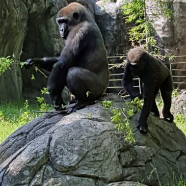 Gorilla Blog: 20 May 2016