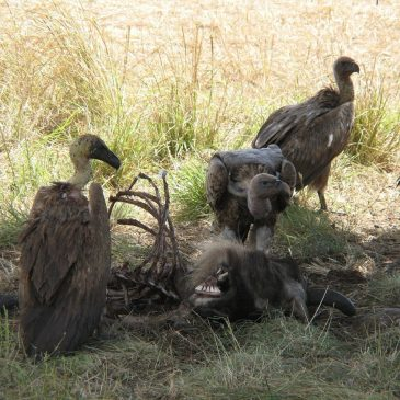 ftE NewsClip: Poisons Are Greatest Threat to Vultures