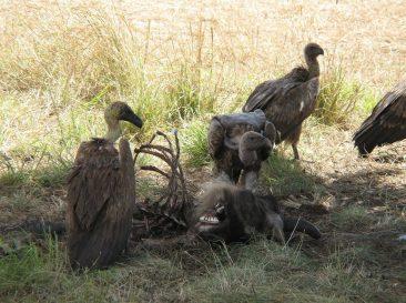 White-Backed Vultures Eating a Dead Wildebeest<br/> <i>Photo courtesy Magnus Kjaergaard (Own work) via Wikimedia Commons</i>