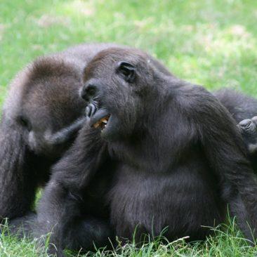 Bomassa And Hadari<br/> <i>Photo courtesy NC Zoo</i>