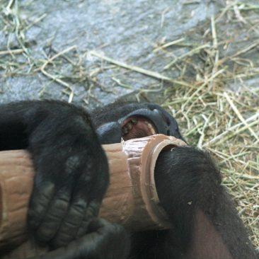Bomassa Playing With Log<br/> <i>Photo courtesy NC Zoo</i>