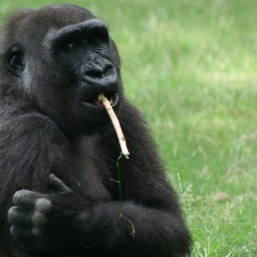 Gorilla Blog: 17 June 2016