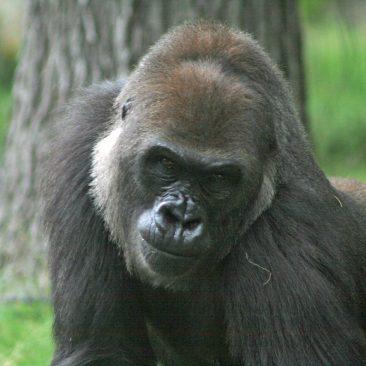 Jamani<br/> <i>Photo courtesy NC Zoo</i>